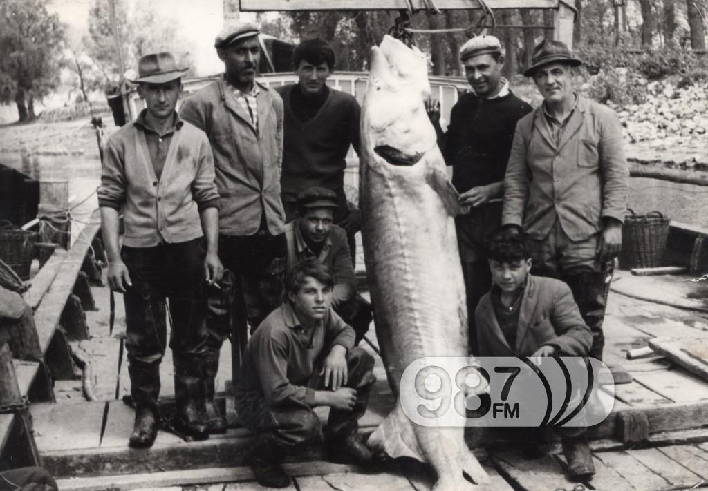 2. Poslednji ulov morune kod, Ciganskog dunavca, teške 185 kg (1964.)