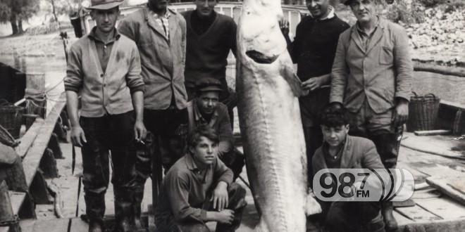 NAJVEĆA MORUNA KOD APATINA UPECANA 1964. GODINE