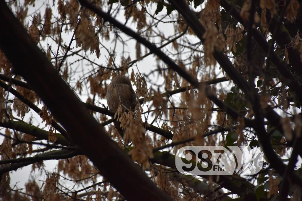 Prebrojavanje sova, sove (4)